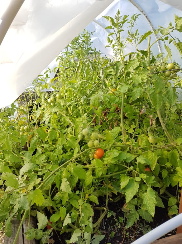 Lots of tomatoes in green house